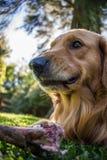 无所畏惧的狗,危险吃骨头 金毛猎犬 免版税库存图片