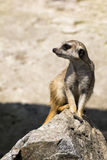 无所畏惧的meerkat坐岩石 库存图片