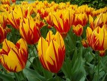 无数充满活力的黄色和红色同色而浓淡不同的开花的郁金香开花 库存图片