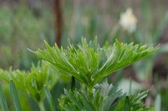 无核小葡萄干开花的绿色叶子在春天 库存照片