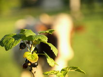 无核小葡萄干果子  库存照片