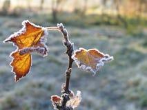 无核小葡萄干树冰叶子 库存图片