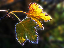 无核小葡萄干树冰离开二 免版税库存照片