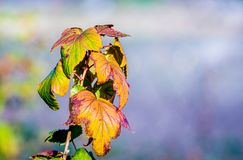 无核小葡萄干灌木与干燥,色的秋叶的在模糊的背景 ??space_ 库存照片