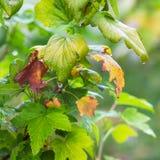 无核小葡萄干灌木与起动转动yellow_的叶子的 库存照片