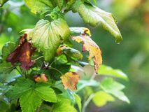 无核小葡萄干灌木与起动转动yellow_的叶子的 免版税库存图片