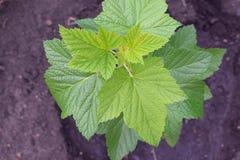 无核小葡萄干的布什与鲜绿色的叶子的从上面 库存照片