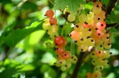 无核小葡萄干莓果 图库摄影