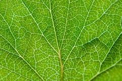 无核小葡萄干绿色叶子纹理宏指令 免版税库存照片
