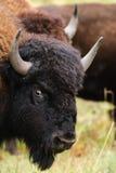 无格式北美野牛 免版税库存图片