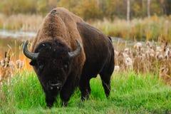 无格式北美野牛 免版税库存照片