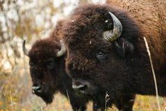 无格式北美野牛 免版税图库摄影