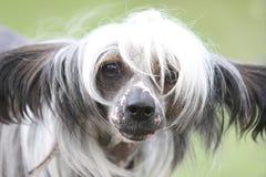 无毛中国有顶饰的狗 库存图片
