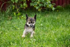 无毛的可爱的站立在绿草的小狗品种中国有顶饰狗画象在夏日 库存图片