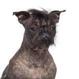无毛的狗,在法国牛头犬之间的混合 图库摄影