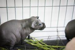 无毛的豚鼠吃食物 免版税库存照片
