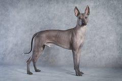 无毛的xoloitzcuintle狗 库存图片