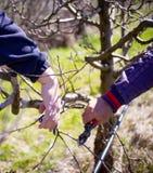 无法认出的人修剪苹果树在行军的一个果树园, 图库摄影