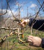 无法认出的人修剪苹果树在行军的一个果树园, 库存图片