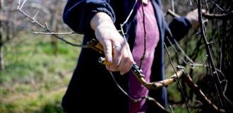 无法认出的人修剪苹果树在行军的一个果树园, 免版税库存图片