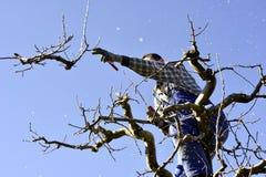无法认出的人修剪苹果树在行军的一个果树园 库存图片