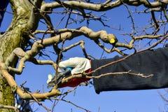 无法认出的人修剪苹果树在行军的一个果树园 免版税库存照片
