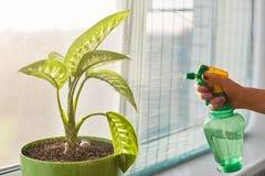 无法认出的妇女拿着粉碎机,与在窗口基石的罐站立的喷雾器的水室内植物 有水喷雾器的女性 免版税库存图片