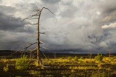 无生命的树在死的森林里 免版税库存照片
