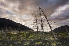 无生命的树在死的森林里 库存图片