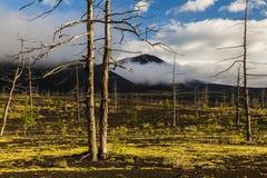 无生命的树在死的森林里 库存照片