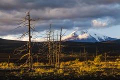 无生命的树在死的森林里 免版税库存图片