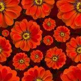 无缝百日菊属红色的样式 背景美丽的花 库存图片