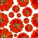 无缝百日菊属红色的样式 背景美丽的花 库存照片