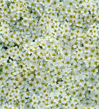 无缝的白色微小的花背景 库存图片