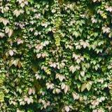 无缝的绿色常春藤墙壁样式 免版税库存图片