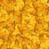 无缝的背景样式纹理由黄水仙制成开花 免版税库存照片