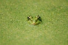 无缝青蛙绿色的池塘 库存图片