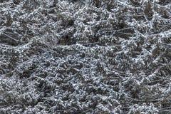 无缝tileable多雪的云杉的纹理 库存图片
