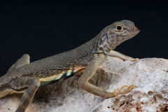 无耳更加极大的蜥蜴 免版税库存图片