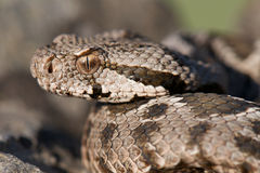无背长椅蛇蝎 库存图片
