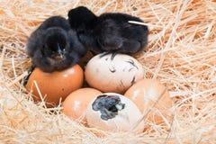 无能为力的小的小鸡湿在孵化以后 库存图片
