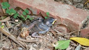 无能为力的小鸟湿在路面,幼小麻雀 影视素材