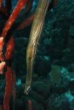 无脊椎动物maculatus喇叭鱼 库存照片