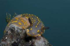 无脊椎黄色走在海绵 免版税库存图片