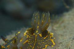 无脊椎黄色走在海绵 免版税图库摄影