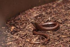 无腿的蜥蜴Scheltopusik科学地叫作Pseudopus 库存照片