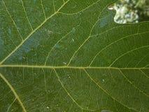 无花果叶的图片水充分下降 免版税库存照片