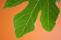 无花果叶结构树 免版税库存图片