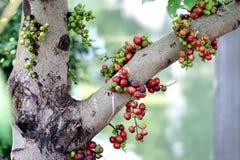 无花果在森林里结果实,红色在树的无花果泰国果子 免版税库存图片