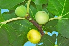 无花果在水果树成熟 免版税库存图片